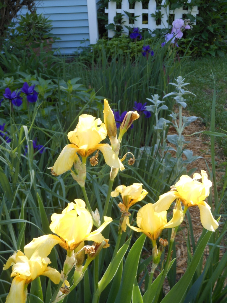 Yellow Bearded Irises are the first to bloom in our Friendship Garden.
