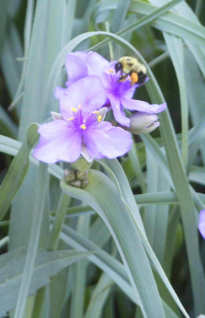 Spiderwort, with blossoms lasting a single day,  attracts bees to the garden.