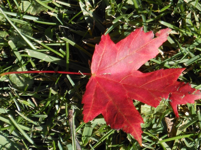 A few leaves from our 'Autumn Blaze' Red Maple have begun twirling down.
