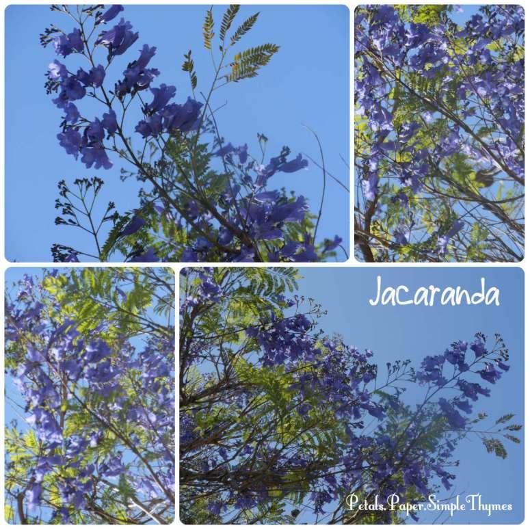 The Jacaranda trees were all in bloom in the Phoenix area last week.