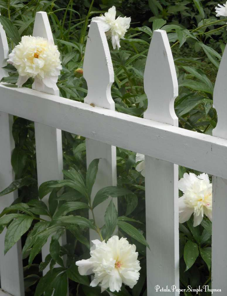White Peonies in bloom along white picket fence
